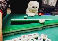 开学季高校呼吁校内不要养宠,主人带猫打牌总是赢牌友狂呼作弊,
